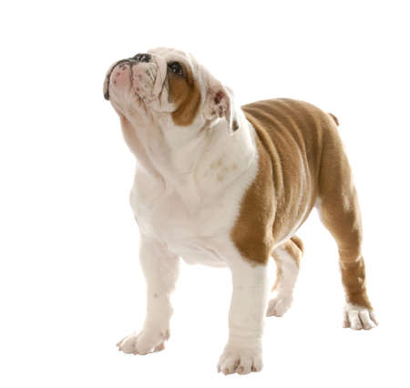 curious: english bulldog puppy standing up isolated on white background