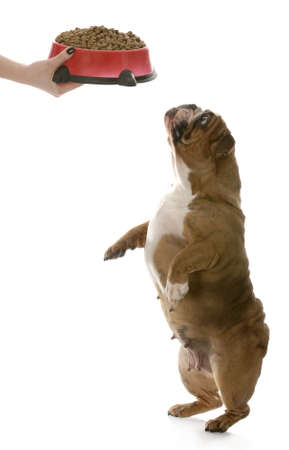 english bulldog standing up on tippy toes begging for full bowl of dog food isolated on white background photo