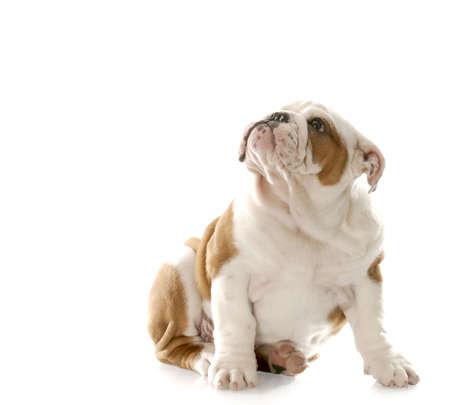 reprimand: english bulldog puppy sitting down looking up with guilty looking expression with reflection on white background