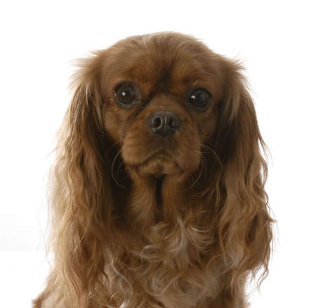 charles: ruby cavalier king charles spaniel portrait on white background Stock Photo