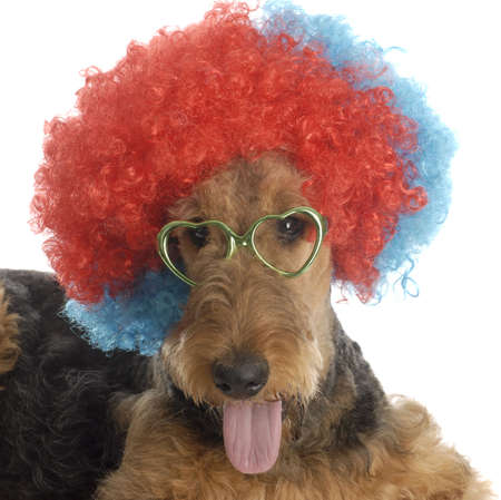 airedale terrier wearing colorful clown wig and heart shaped glasses on white background photo