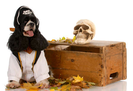 american cocker spaniel dressed up like a pirate Stock Photo - 7378478