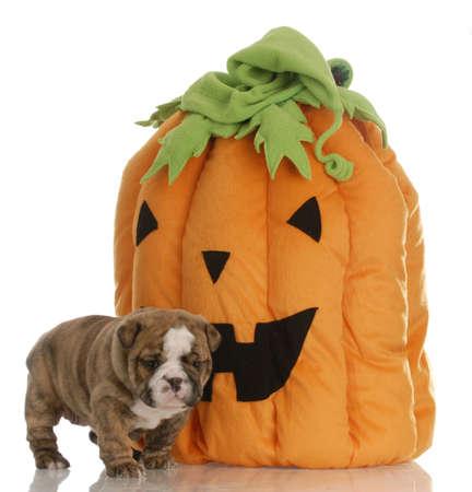 puppy with halloween pumpkin photo