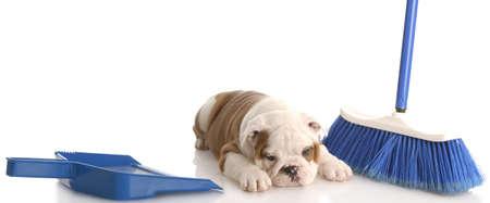 rommelig hond - Engels bulldog puppy waarin naast een blauw bezem en stof pan  Stockfoto