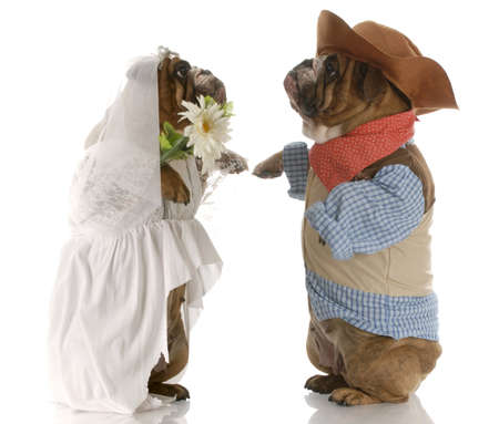 english bulldogs standing up dressed up like a bride and groom with reflection on white background photo