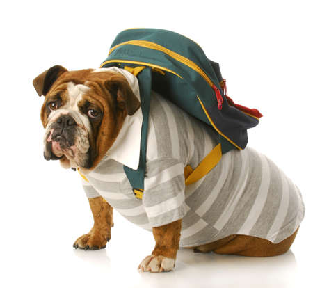 dog school: english bulldog wearing striped shirt and back pack sitting with reflection on white background