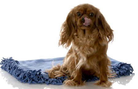 ruby cavalier king charles spaniel licking lips sitting on blue blanket with white background Archivio Fotografico