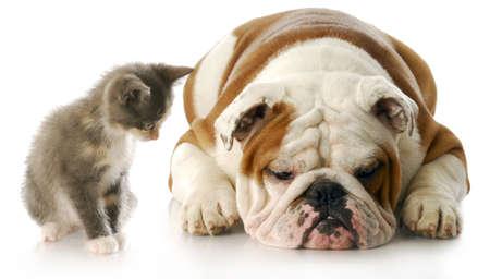 amor adolescente: gatito mirando hacia abajo al cachorro de bulldog ingl�s que se establece malhumorada con una reflexi�n sobre fondo blanco