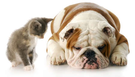 kitten small white: kitten looking down at english bulldog puppy that is laying down sulking with reflection on white background Stock Photo
