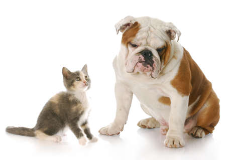 8 week old kitten looking up at 8 month old english bulldog puppy with reflection on white background Stock Photo - 7404648
