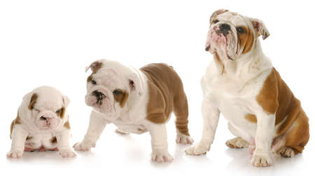 stages of puppy growth - english bulldog puppy stages Banco de Imagens