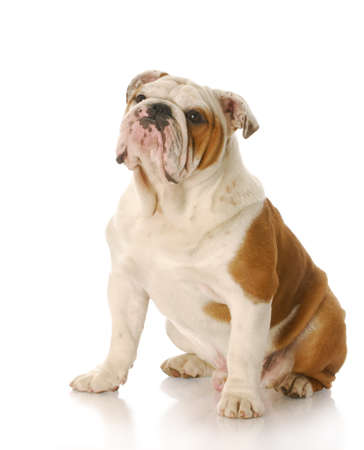 eight month old english bulldog puppy sitting with reflection on white background photo