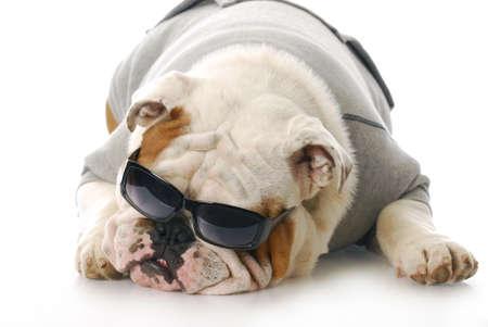 conformation: adorable de ingl�s bulldog, llevando gafas de sol oscuras con la reflexi�n sobre fondo blanco