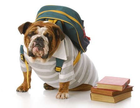 english bulldog wearing striped shirt and back pack with stack of books photo