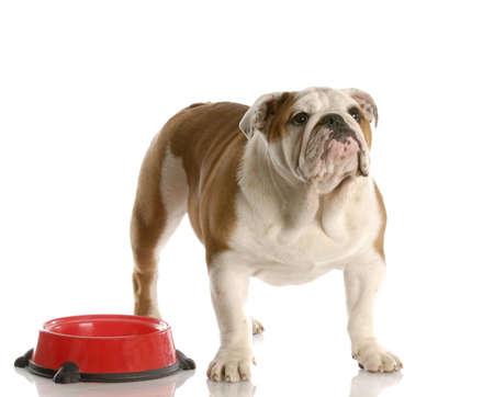 british bulldog: cute english bulldog puppy standing beside food dish looking up waiting to be fed