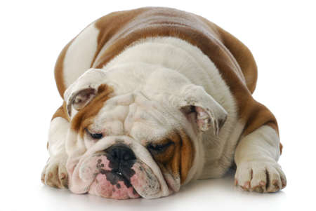 sad and depressed looking english bulldog laying down with reflection on white background photo