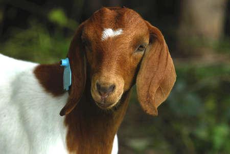 boer: doeling de pura raza cabra boer sur africano en pastos  Foto de archivo