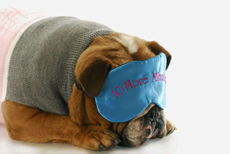 english bulldog sleeping with ten more minutes eye mask Stock Photo - 7427488