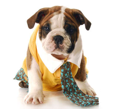 humor: adorable english bulldog puppy dressed up wearing shirt and tie with reflection on white background