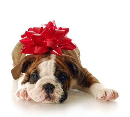 Cachorro de bulldog adorable de inglés con arco rojo en la cabeza con una reflexión sobre fondo blanco