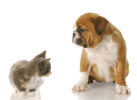 old english: eight week old kitten and english bulldog puppy looking at each other with reflection on white background