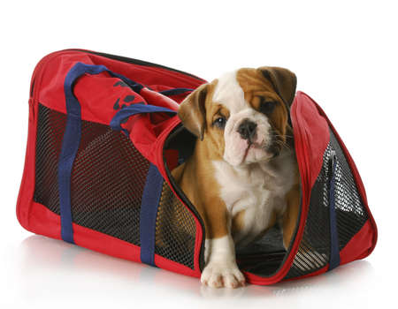 behave: adorable eight week old english bulldog peaking out of travel tote bag