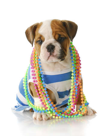 adorable eight week old english bulldog puppy wearing blue and white shirt with colorful jewellery with reflection on white background Stock Photo - 7427497