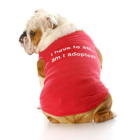 stocky: adorable english bulldog wearing red shirt that says: am I adopted?