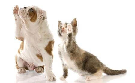english bulldog puppy and kitten holding paw up to shake photo