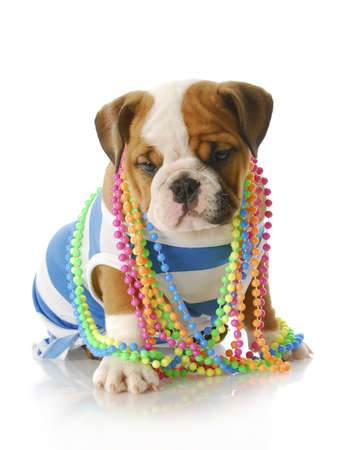 adorable eight week old english bulldog puppy wearing blue and white shirt with colorful jewelery with reflection on white background Stock Photo - 7427509