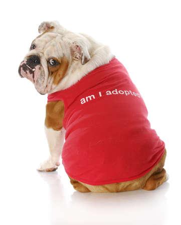 animal shelter: english bulldog wearing red shirt that says