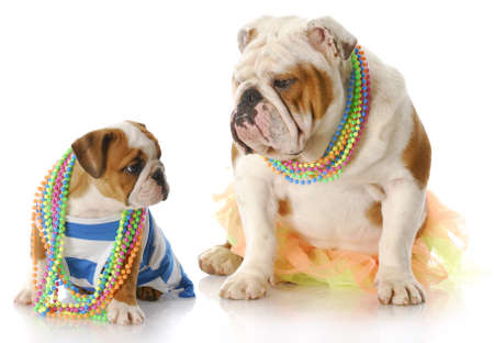 english bulldog mother and puppy dressed up in girl clothes with jewellry with reflection on white background photo