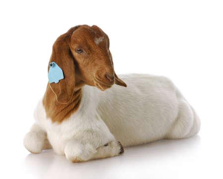 cabras: doeling de pura raza cabra boer sur africano con una reflexi�n sobre fondo blanco  Foto de archivo