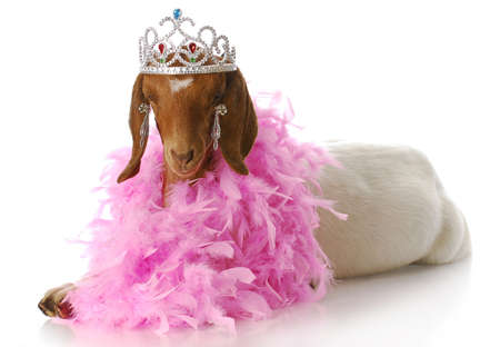 adorable south african boer goat doeling dressed up like a princess Stock Photo - 7427510