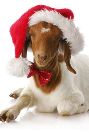 cute young farm girl: adorable south african boer goat wearing santa hat and bow tie