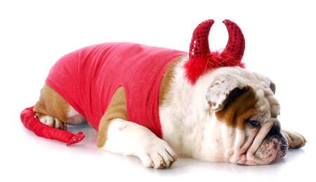 devilish: english bulldog with devilish expression in devil costume with reflection on white background Stock Photo