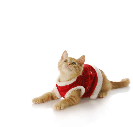 christmas pussy: adorable ten week old kitten wearing christmas dress with reflection on white background