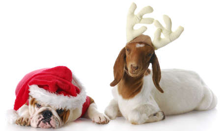 greeting christmas: dog dressed up as santa and goat dressed up as rudolph with reflection on white background Stock Photo