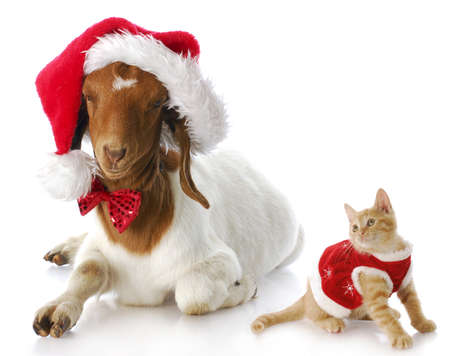 christmas costume: cute kitten in christmas dress looking at goat dressed up in santa hat