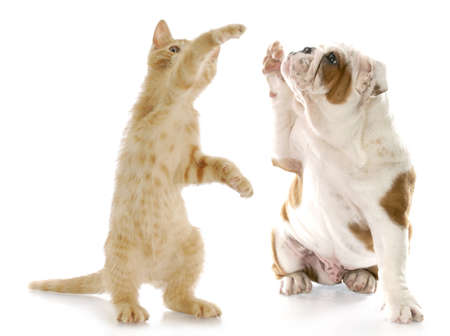 to beg: kitten standing up giving high five to english bulldog puppy with reflection on white background