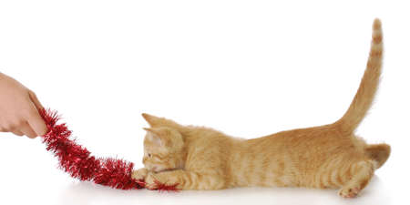 hand pulling on red cat toy with kitten chasing it with reflection on white background Foto de archivo