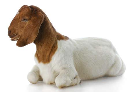 boer: doeling de cabra boer sur africano con una reflexi�n sobre fondo blanco