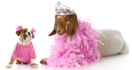 female bulldog puppy in pink looking up at goat dressed like a princess with reflection on white background photo