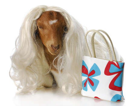 south african boer goat doeling dressed up with blonde wig and purse with reflection on white background