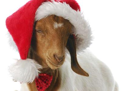 farm girl: south african boer goat doeling dressed up ln santa hat on white background