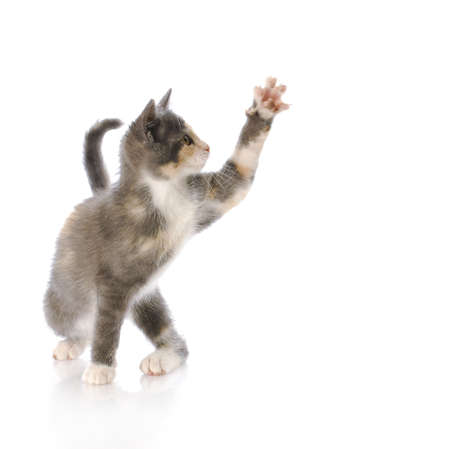 nine week old kitten swatting paw at air with reflection on white background