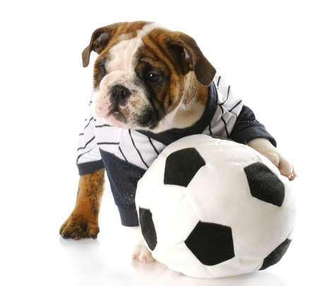 cute english bulldog puppy wearing sports jersey playing with soccer ball with reflection on white background photo