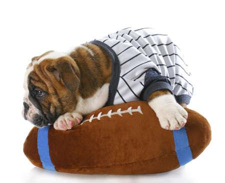 english bulldog puppy wearing sports jersey laying on stuffed football with reflection on white background photo