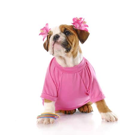 mujer perro: Cachorro de bulldog de ingl�s adorable vistiendo rosa con la reflexi�n sobre fondo blanco