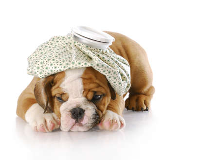 shot: english bulldog puppy with hot water bottle on head with reflection on white background Stock Photo